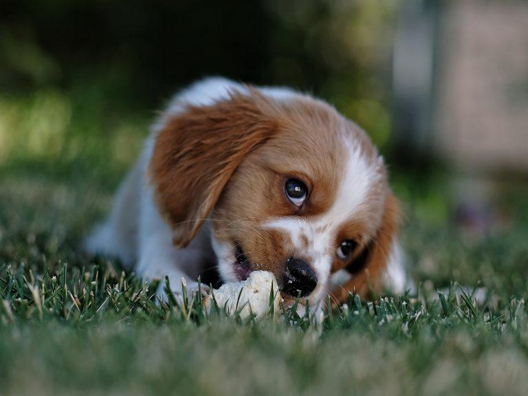 Kann ein Hund Hühnerknochen essen?